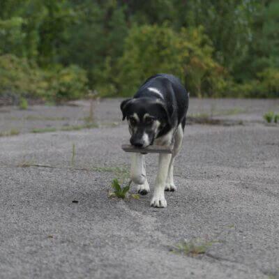 Animals in Chernobyl